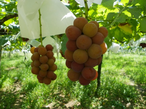 ゴルビー 赤ブドウ  -1