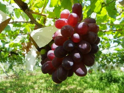 ウインク 赤ブドウ-2