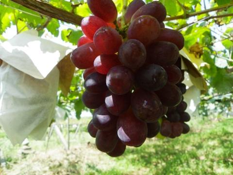 ウインク 赤ブドウ