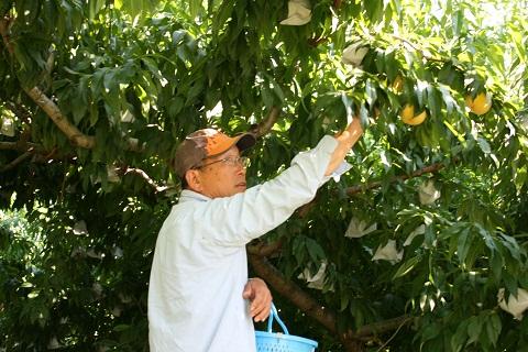 黄金桃 オウゴントウ-1